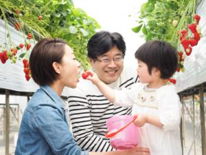 家族が苺狩りを楽しんでいる様子
